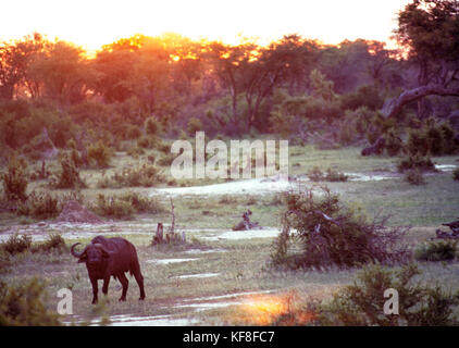 BOTSWANA, Africa, a Cape Buffalo in Chobe National Park and Game Reserve - Stock Photo