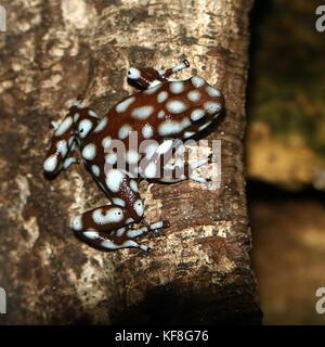 Peruvian  Marañón poison frog (Excidobates mysteriosus) - Stock Photo