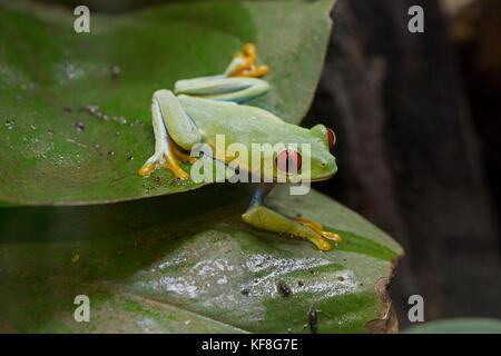 Red-eyed tree frog Agalychnis callidryas sitting on leaf WWT UK - Stock Photo