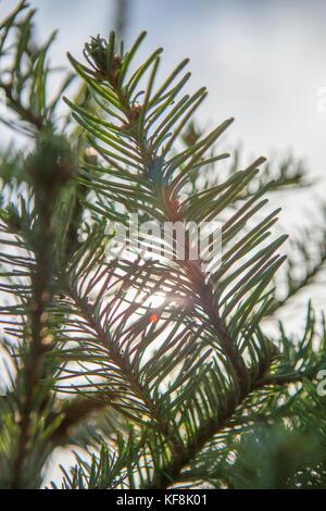 Noble Fir Abies procera close up bark mature tree Perthshire Big Tree Stock Photo: 17889890 - Alamy
