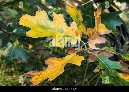 Leaves of Black Oak tree changing their color during the Fall season at the forest in Yosemite Valley - Stock Photo