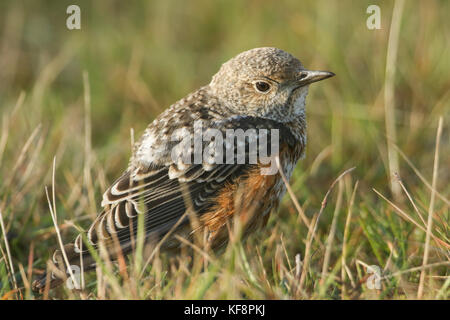 An extremely rare juvenile Rock Thrush (Monticola saxatilis) hunting for food in the grass in Wales, UK. - Stock Photo