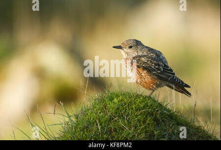 An extremely rare juvenile Rock Thrush (Monticola saxatilis) perched on a mossy mound in Wales, UK. - Stock Photo
