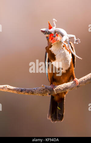 White-throated Kingfisher (Halcyon smyrnensis) with a gecko  in its beak, Negev, Israel - Stock Photo