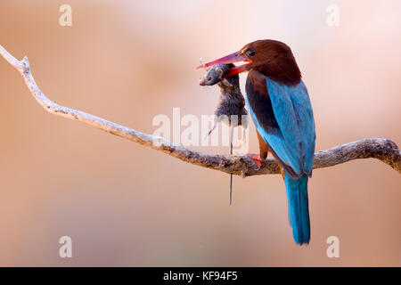 White-throated Kingfisher (Halcyon smyrnensis) with a rodent in its beak, Negev, Israel - Stock Photo