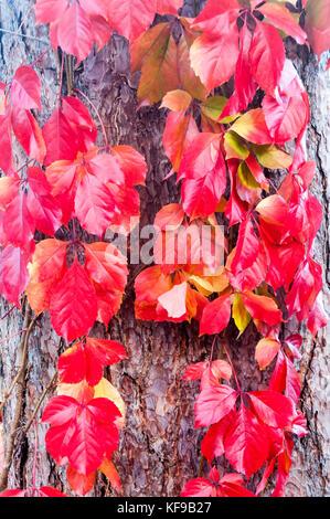 Virginia Creeper, Parthenocissus quinquefolia Red Wall 'Troki' growing up the trunk of a Black Pine,Pinus nigra, - Stock Photo