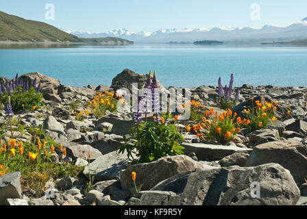 Stunning landscape of Lake Tekapo, Spring/ Summer, with blue lake surrounded by snow capped mountains and colourfull - Stock Photo