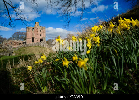 Daffodils at Norham Castle in springtime - Stock Photo