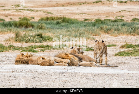 A family of Lions in the Namibian savanna - Stock Photo
