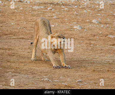 A male Lion having a stretch in the Namibian savanna - Stock Photo