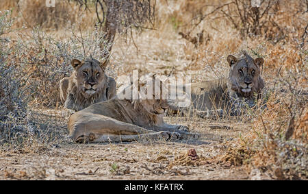 A trio of young male Lions in the Namibian savanna - Stock Photo