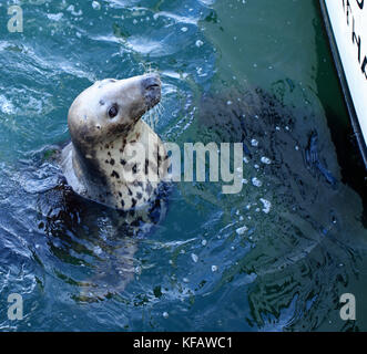 Close-up of female grey seal (Halichoerus grypus atlantica) begging for chum from fishermen at the Chatham Fish - Stock Photo