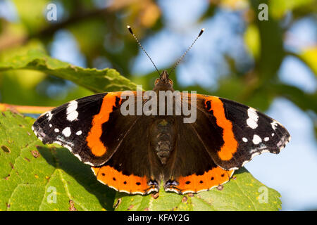 Close up of red admiral butterfly vanessa atalanta. Selective focus. Shallow depth of field. - Stock Photo
