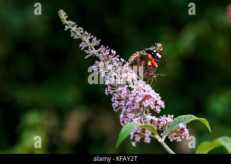 Close up of colorful vanessa atalanta the red admiral or previously the red admirable getting nectar from pink butterfly - Stock Photo
