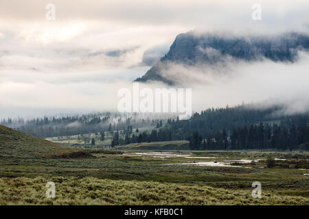 A herd of American bison cross the Soda Butte Creek in the Lamar Valley on a foggy morning at the Yellowstone National - Stock Photo