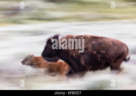 An American bison cow and calf run through the sagebrush in the Lamar Valley at the Yellowstone National Park June - Stock Photo