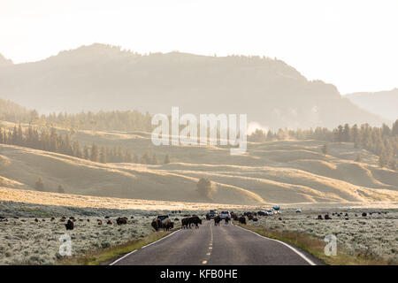 Traffic stops as a herd of American bison cross the road at dawn near the Soda Butte Creek in the Lamar Valley at - Stock Photo