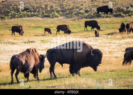 A herd of American bison grazes in the Lamar Valley at the Yellowstone National Park July 30, 2017 in Wyoming.  - Stock Photo