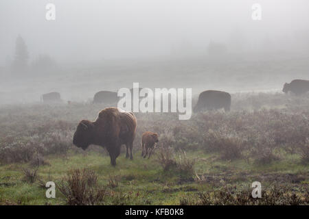 A herd of American bison graze in the fog at dawn near the Swan Lake Flats at the Yellowstone National Park May - Stock Photo