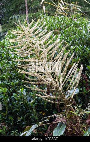 Branched flowering spike of the exotic foliage evergreen, Schefflera delavayi - Stock Photo