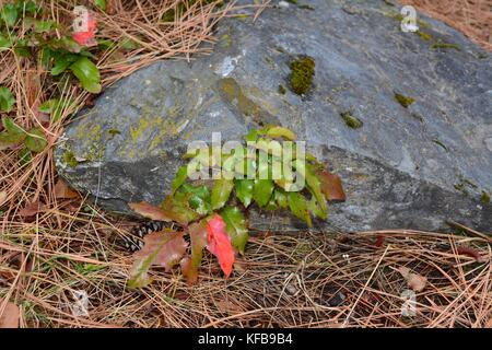 Oregon Grape near a moss covered boulder showing some signs of autumn in the colors. - Stock Photo