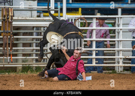 Rodeo Clown And Bull After Throwing Its Rider In The 4th
