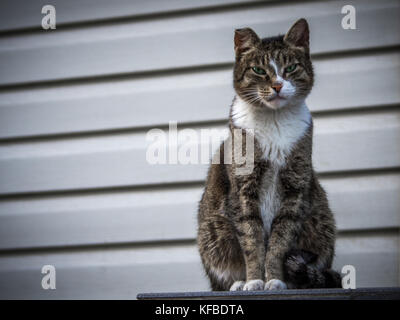 A tough street cat with green eyes looking in the camera - Stock Photo