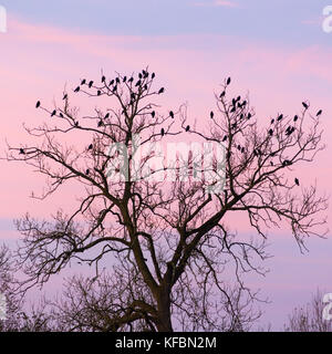 Avon Valley, Fordingbridge, New Forest, Hampshire, UK, 27th October 2017. Birds gather in a tree top on a cool, - Stock Photo