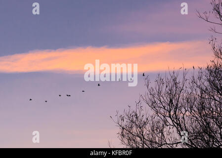 Avon Valley, Fordingbridge, New Forest, Hampshire, UK, 27th October 2017. Birds take flight on a cool, clear morning - Stock Photo