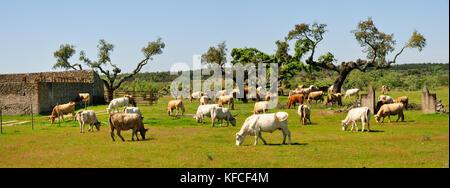 Cork trees and cattle grazing in Alentejo. Alpalhão, Portugal - Stock Photo