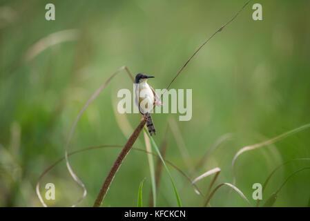 Ashy Prinia bird perched on a grass plant - Stock Photo
