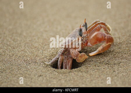Ghost crab (Ocypode sp.) close up, hiding in his hole in the sand. Ballena National Park, Costa Rica. - Stock Photo