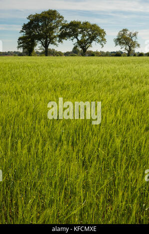 Suffolk. England, UK.  A fresh spring crop is light green growing in a field with a group of three large trees on - Stock Photo