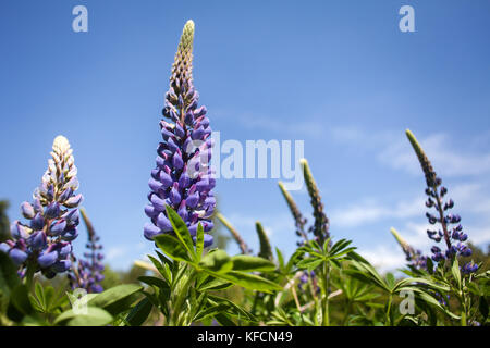Group of tall Lupins with purple flowers against deep blue sky during British summertime. Rural scene. Lupinus flowering - Stock Photo