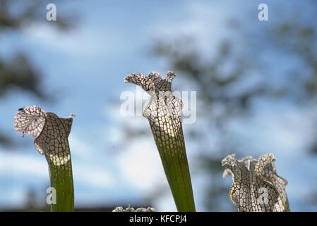 close up of Saracenia carnivorous plant on natural background - Stock Photo