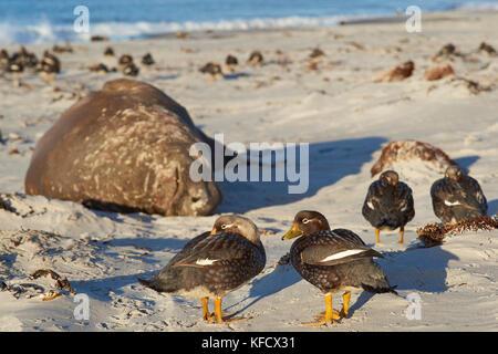 Falkland Steamer Ducks (Tachyeres brachypterus) on a sandy beach on Sea Lion Island in the Falkland Islands. Southern - Stock Photo