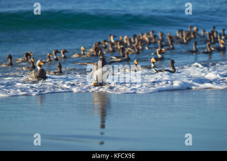 Large group of Falkland Steamer Ducks (Tachyeres brachypterus) coming ashore on Sea Lion Island in the Falkland - Stock Photo