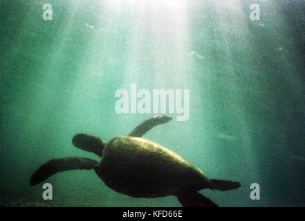 MEXICO, Baja, Magdalena Bay, Pacific Ocean, a turtle seen underwater while grey whale watching in Magdalena bay - Stock Photo
