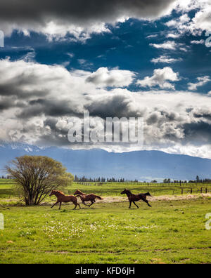 USA, Oregon, Enterprise, horses dry off after the rain stops, the Snyer Ranch in Northeast Oregon, looking towards - Stock Photo