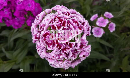 Fully open blooming purple with white stripes flower with multiple smaller flowers combined in one big one on a - Stock Photo