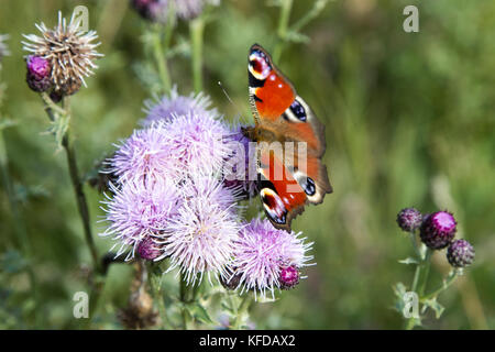 Peacock, Inachis io, butterfly on a flower in the sunlight, wings outstretched - Stock Photo