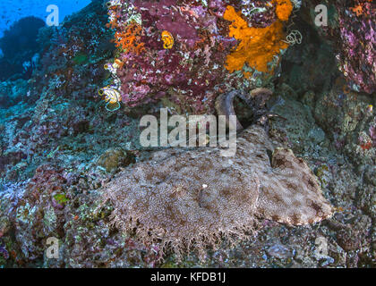 Close focus, wide-angle image of a wobbegong shark sleeping under a colorful coral cave. Raja Ampat, Indonesia. - Stock Photo