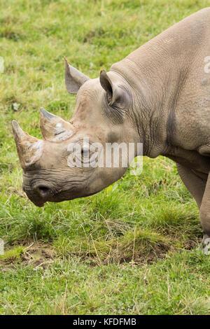 A Black Rhino at Folly Farm, Pembrokeshire, UK. - Stock Photo