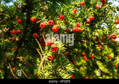 Close up of yew tree branches with red berries, taxus baccata, East Lothian, Scotland, UK - Stock Photo