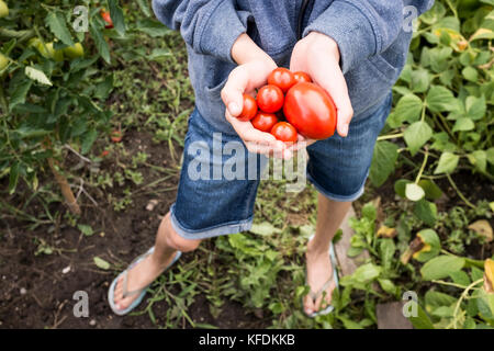 A young girl picks organic tomatoes from her home garden in Bischeim, France. - Stock Photo