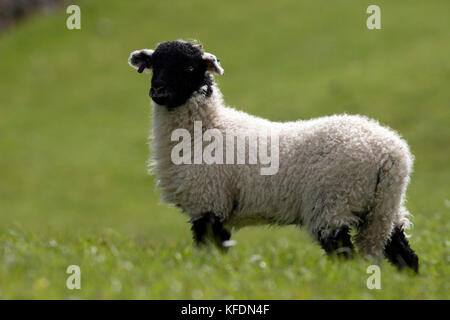 Swaledale lamb standing in field, Yorkshire Dales, England - Stock Photo
