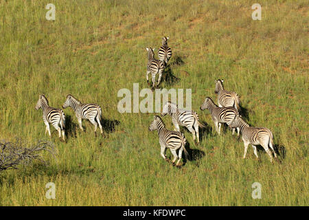 Aerial view of plains zebras (Equus burchelli) in grassland, South Africa - Stock Photo