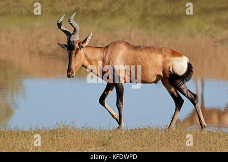 A red hartebeest antelope (Alcelaphus buselaphus) in natural habitat, South Africa - Stock Photo