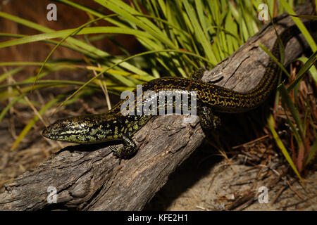 Western mourning skink (Lissolepis luctuosa) on a log. It is endemic to the southwestern corner of the State. Bunbury, - Stock Photo