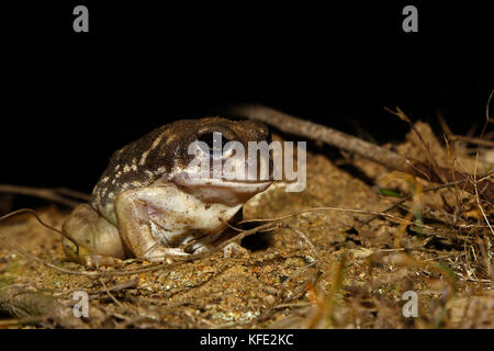 Western spotted frog (Heleioporus albopunctatus) on the ground at night. Dryandra Woodland, Wheatbelt region, Western - Stock Photo